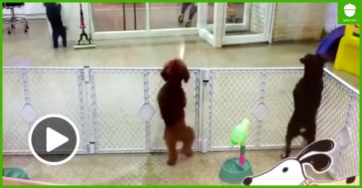 Собака, увидев хозяйку, на радостях станцевала сальсу