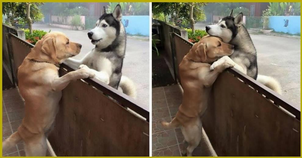 Одинокая соседская собака убегает со своего двора, чтобы повидаться со своим лучшим другом. Эти фотографии тронут Вас за душу!