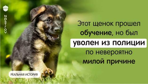 Этот щенок прошел обучение, но был уволен из полиции по невероятно милой причине