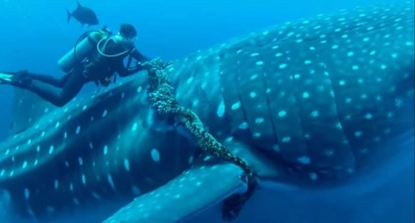 Китовая акула попросила дайвера о помощи!