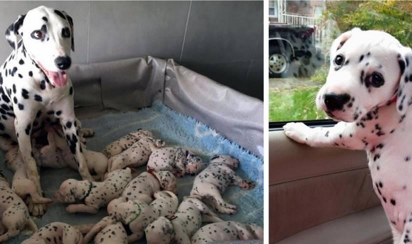 Самка далматина родила рекордное количество щенят — целых 18!
