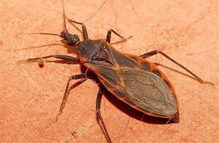 Если вы увидели этого жука у себя дома, немедленно вызывайте МЧС. Не вздумайте даже прикасаться к нему!