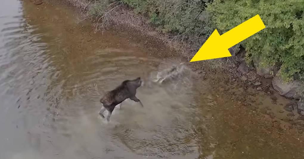 Канадец случайно снял на дрон нападение волка на лося, стоявшего в озере, и их битву стоит увидеть