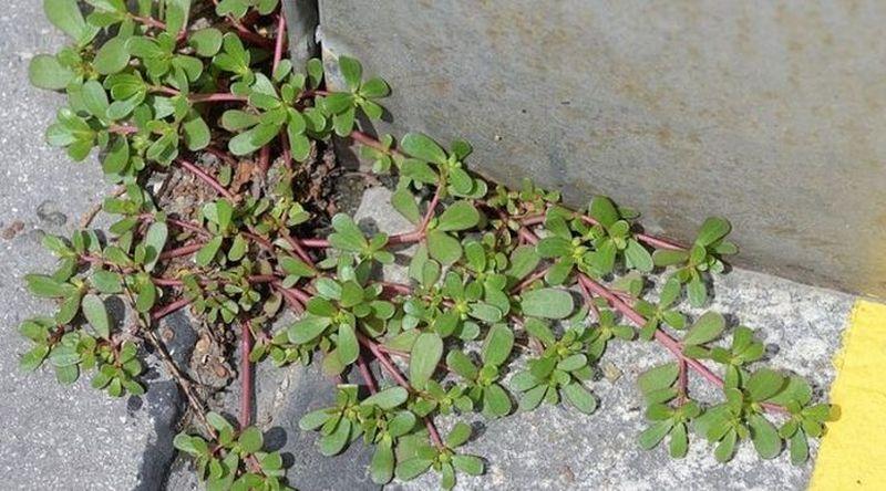 Если вы увидите это растение в вашем дворе, ни в коем случае не уничтожайте его! От его листьев фантастическая польза!