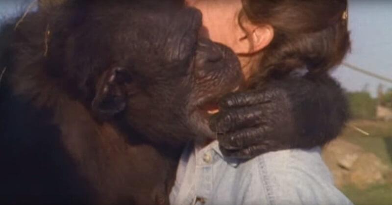 Шимпанзе не забыла, что сделала эта женщина. Спустя 18 лет они наконец встретились.