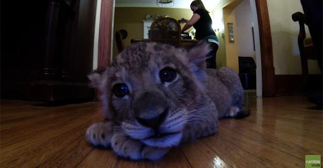 Вы только посмотрите на этого львенка! Мимишность этого видео просто зашкаливает!