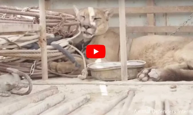 Этот горный лев всю жизнь прожил в цирке закованный в цепи! Вы только взгляните в его глаза!