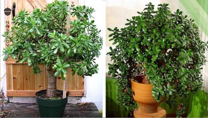 Если у вас растет денежное дерево — узнайте, что это за чудо растение!