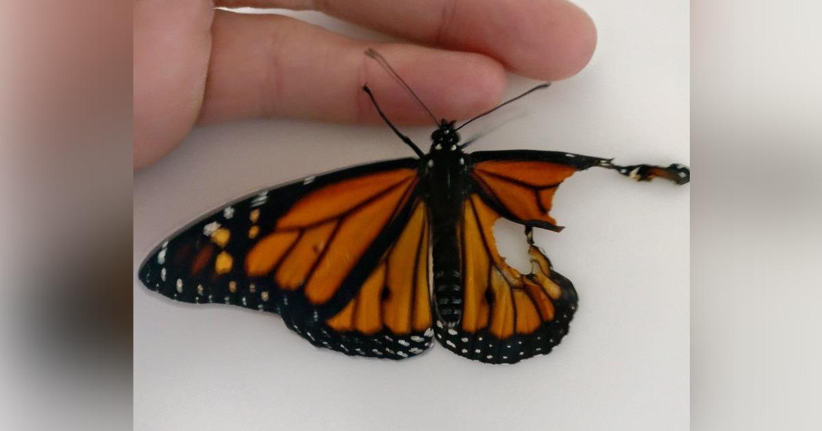 Трансплантируем крыло бабочке Монарха