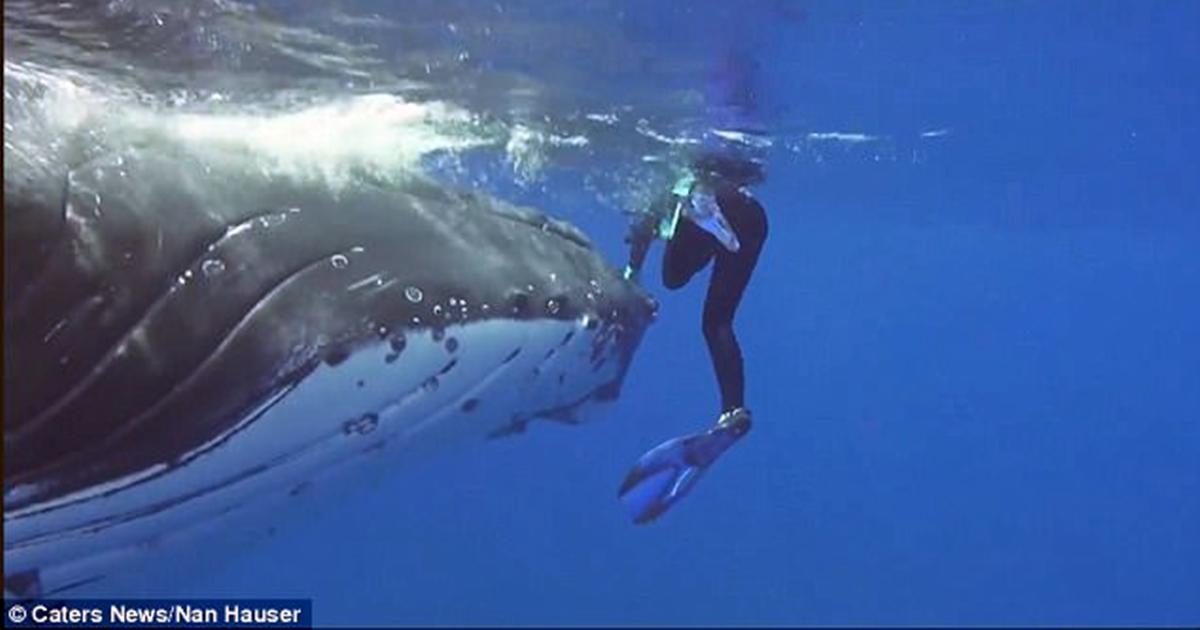 22-тонный кит спас дайвершу от акулы, спрятав её под плавником. Невероятное видео!