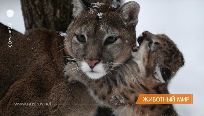 Впервые за пять лет в Новосибирском зоопарке пума принесла потомство.