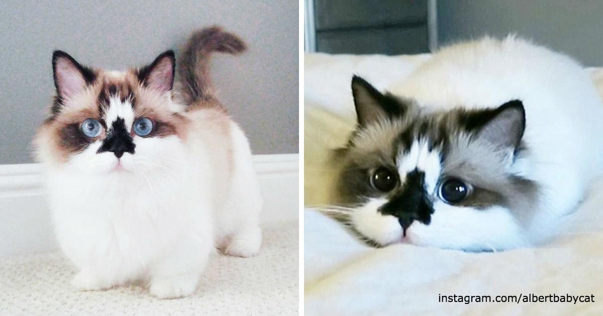 Знакомьтесь: Манчкин Альберт! Котики этой новой породы не растут!