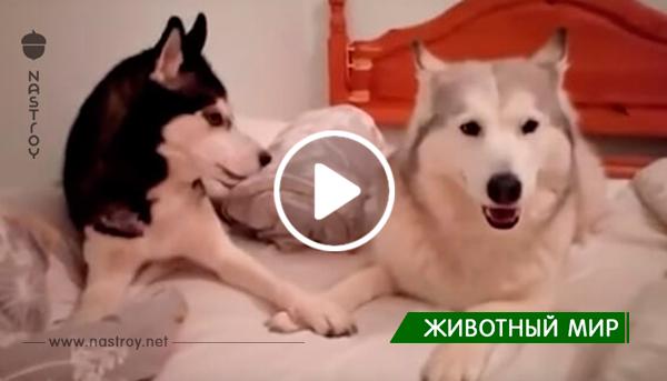 Видео с хаски, которые устроили ссору в кровати хозяина рассмешит любого!