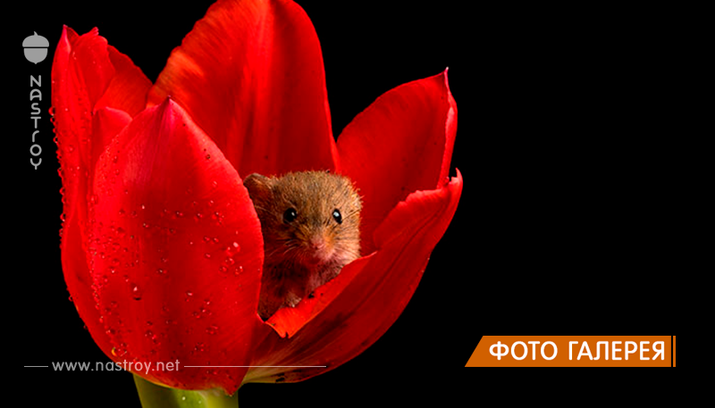 Фотограф снял, как мышки-малютки прячутся в тюльпанах