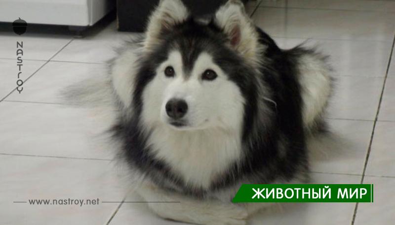 Супер фотографий, которые доказывают, что Хаски — самые странные собаки!