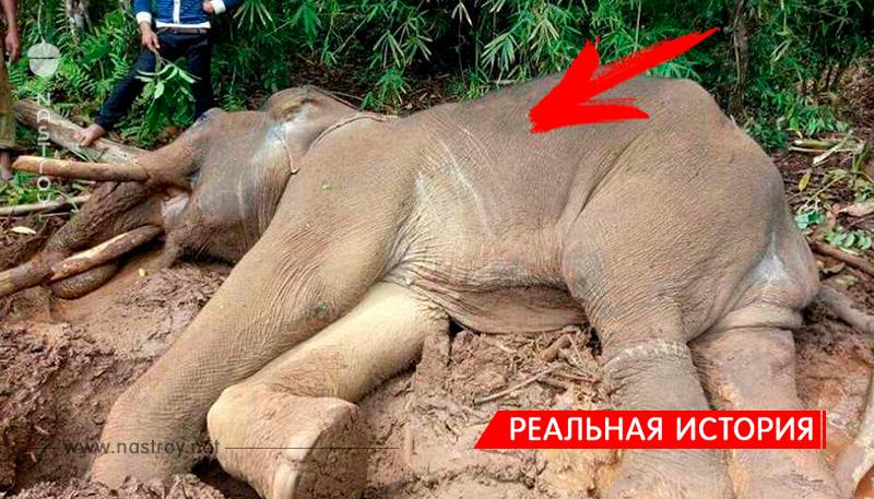 Хозяин слона-беглеца разозлился и заморил его голодом!
