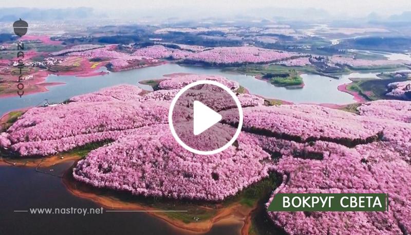 Посмотрите какая красота — в Китае расцвели вишневые деревья, просто удивительно!