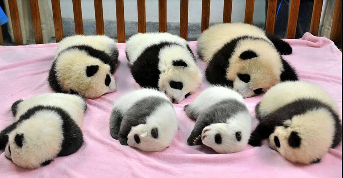 Оказывается, детский сад для панд существует. И это самое очаровательное место на Земле!