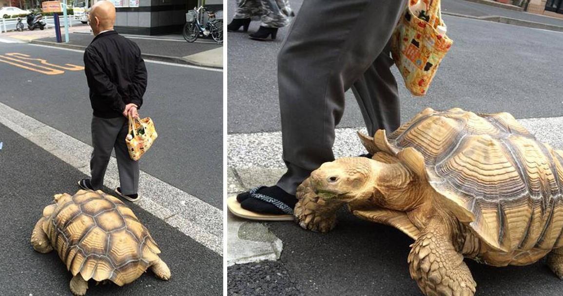 Самый терпеливый владелец питомца гуляет со своей огромной черепахой по улицам Токио!