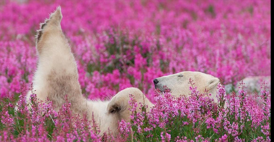 Канадский фотограф снял удивительные фотографии белых медведей, играющих на цветочных полях!