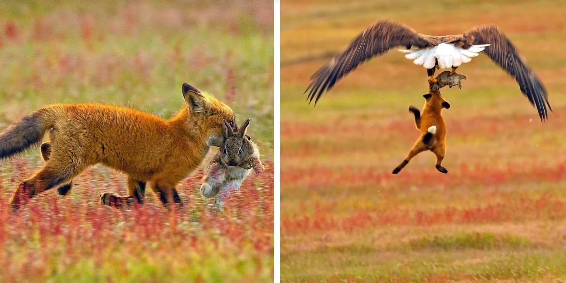 Вот просто невероятные фото битвы за еду между кроликом, лисой и орланом!