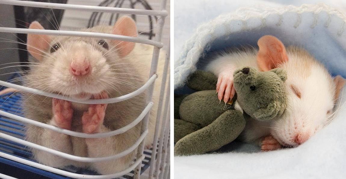 18 очаровательных крыс, доказывающих, что они могут быть милейшими домашними питомцами!