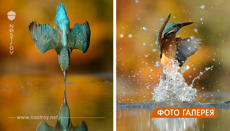 После 6 лет работы и 720,000 попыток, фотограф, наконец, снял идеальную фотографию зимородка!