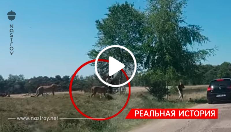 Группа гепардов атаковала туристов в сафари-парке!