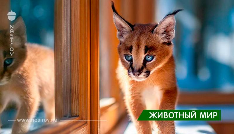 Редкие кошки: Каракалы!