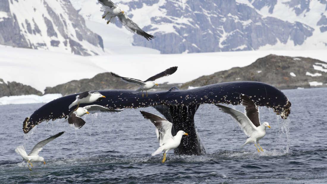 Японские китобои уничтожили 120 беременных самок китов!