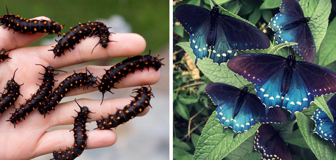 Этот мужчина в одиночку занимается разведением редких бабочек на заднем дворе своего дома!