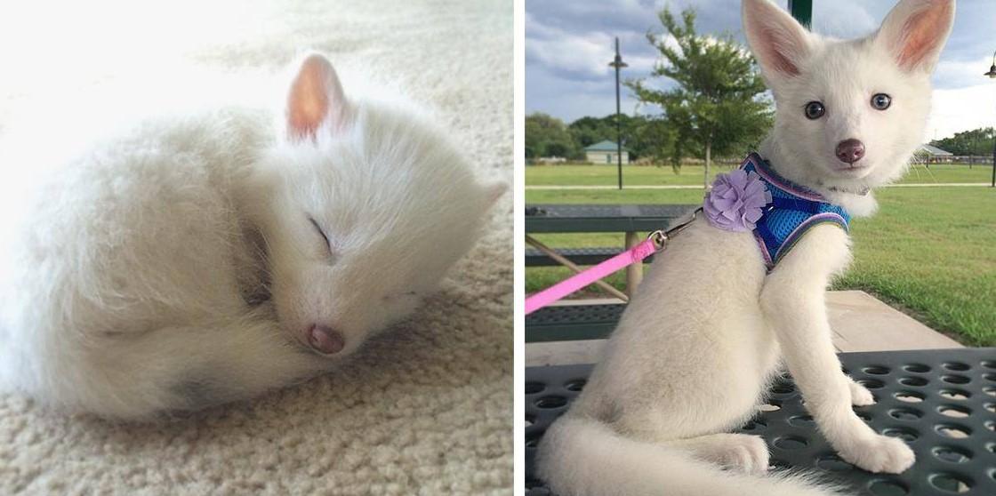 Rylai – самая обаятельная белоснежная лиса в интернете!