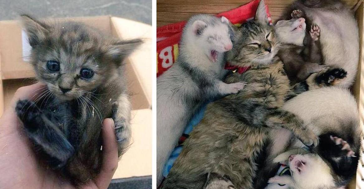 Спасённый котёнок, попавший в семью с пятью хорьками, думает, что он тоже хорёк