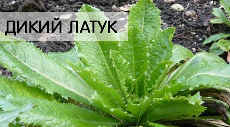Как морфин: Лучшее на свете болеутоляющее растёт у вас во дворе!