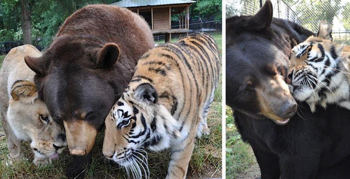 Неразлучное братство медведя, льва и тигра!