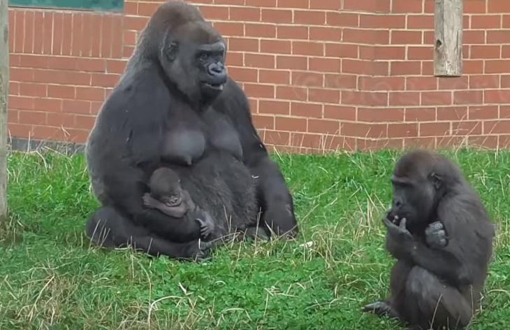 5 дневного малыша вернули маме-горилле и братику. Реакция на пополнение в семействе — потрясающая!
