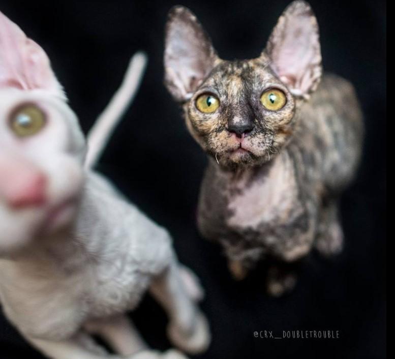 Есть ли что-нибудь более симпатичное, чем пушистые, пушистые котята? О да, маленький инопланетянин Корниш Рекс!