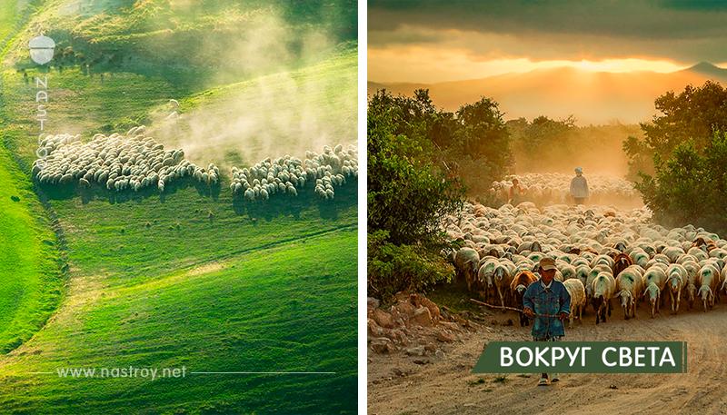 25 фотографий овец, окутывающих Землю, как снег!