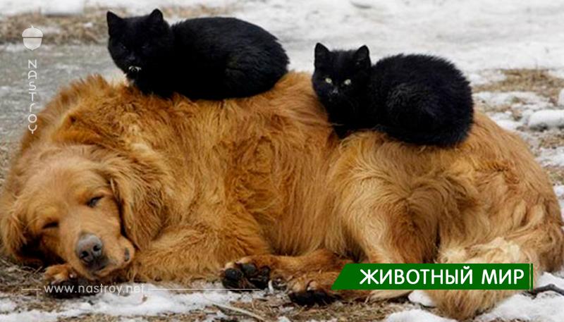 Кошки, которые используют собак в качестве подушек!