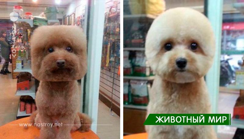 В Тайване набирают популярность идеально круглые и квадратные причёски для собак!