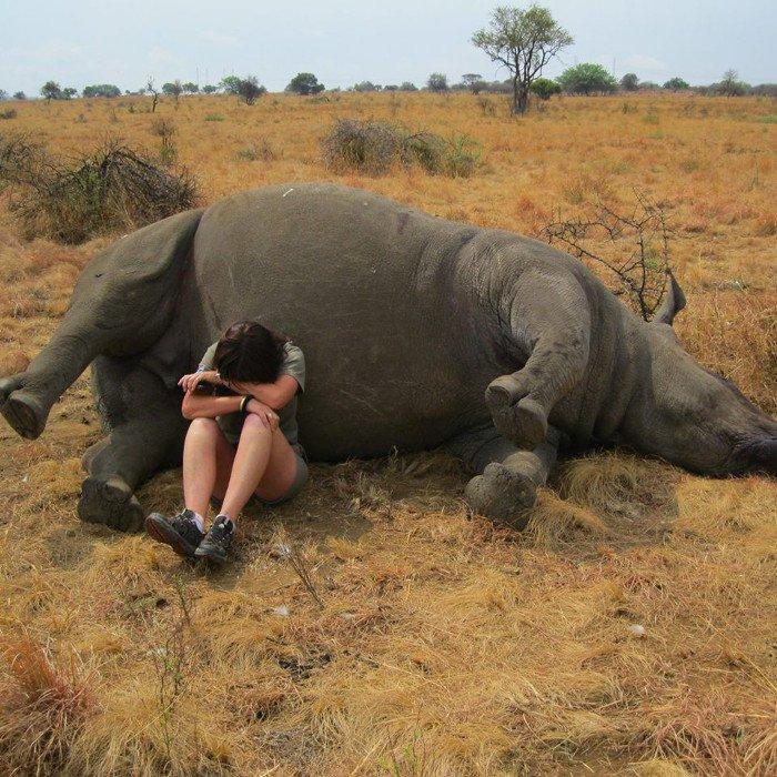 Браконьеры установили рекорд по убийству носорогов в Южной Африке!