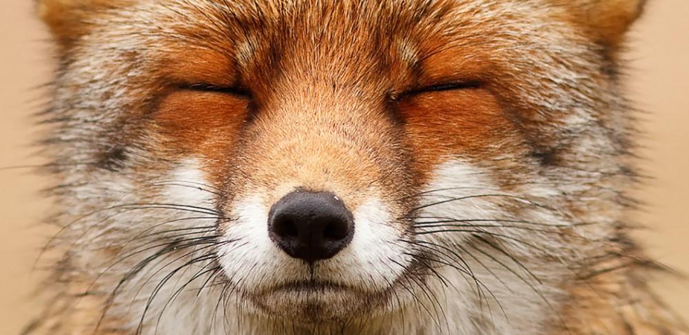 Лики лис или доказательство того, что у каждой лисы есть свой характер!
