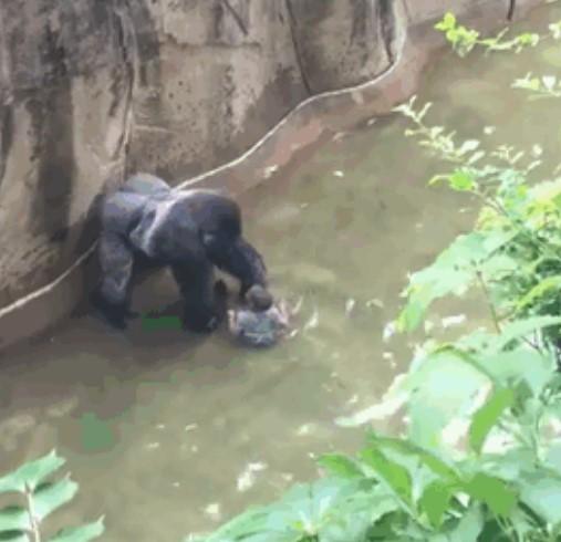 Видео показывает, что горилла держала мальчика за руку перед тем, как была застрелена!