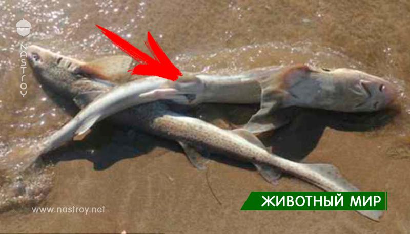 На пляж Уэльса выбросило за раз более 50 мертвых акул!