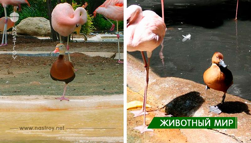 8 уток, которые думают, что они фламинго