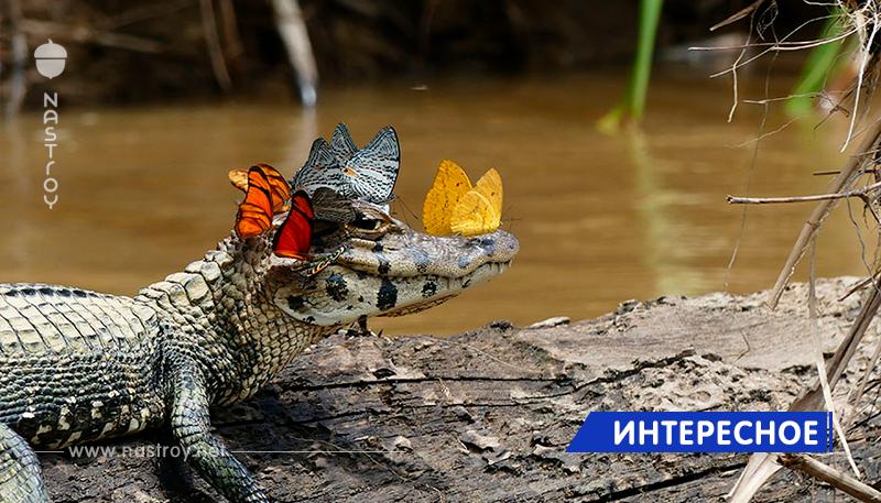 Кайман с короной из бабочек показывает, какими нежными могут быть рептилии