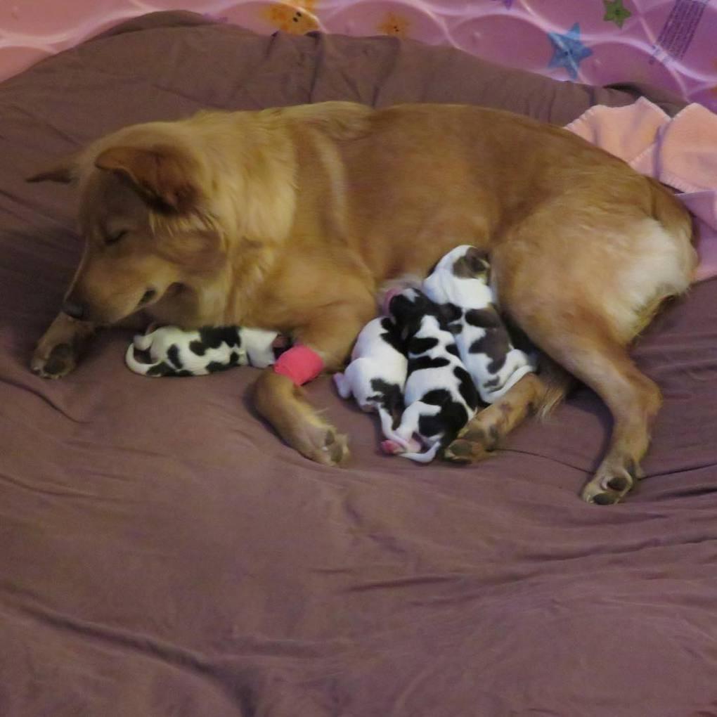 В приюте для собак родились щенки, которые ну очень похожи на телят.