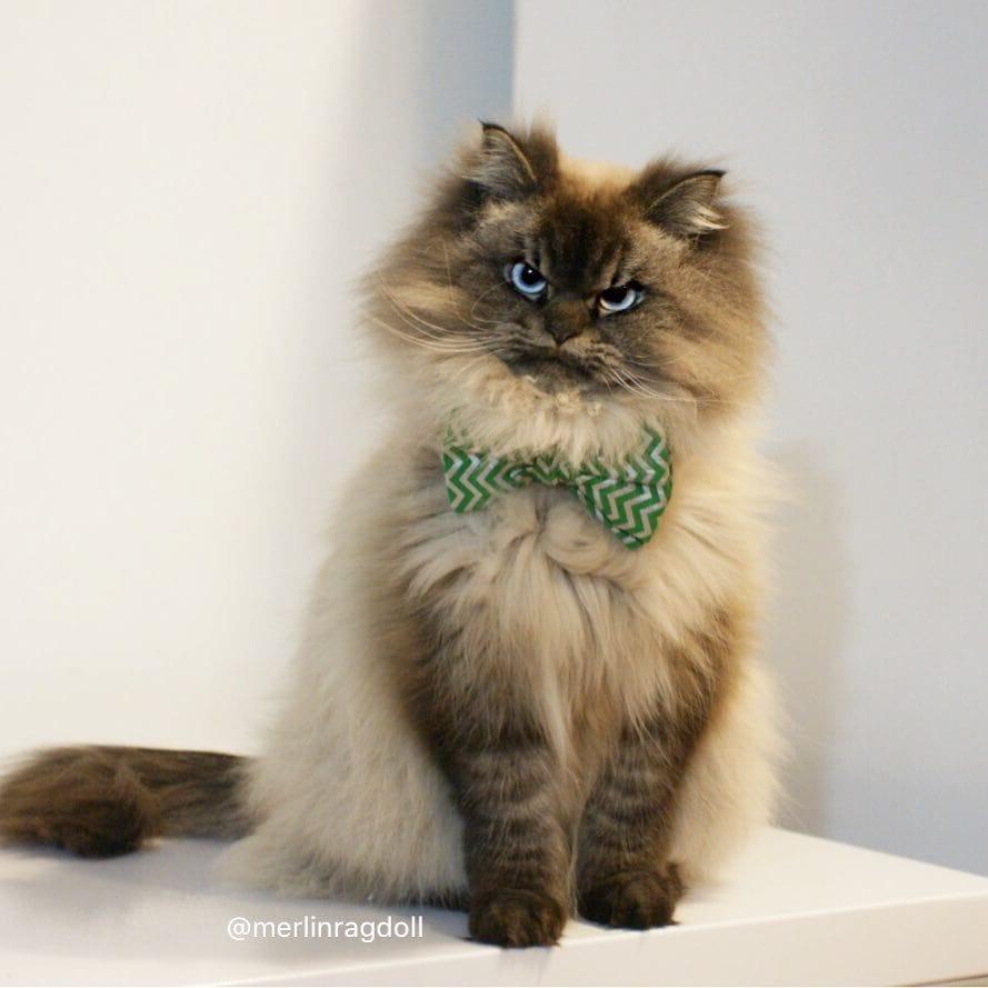 Самые крупные породы, домашних кошек!