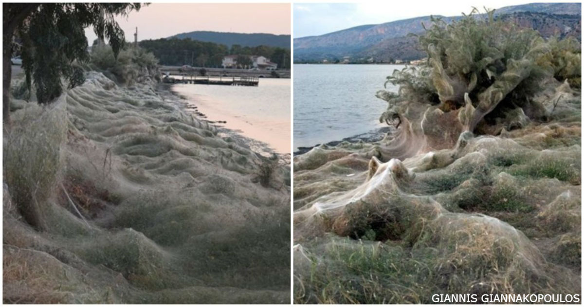 Курорты в Греции захватили гигантские паучьи сети! Вот фото