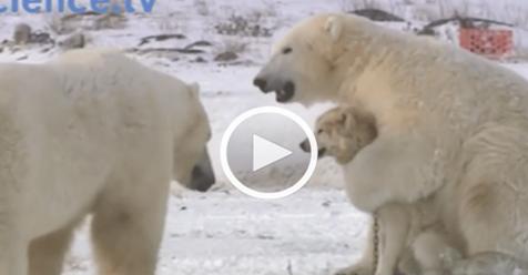 Белые медведи окружили стаю собак… Дальше шок!